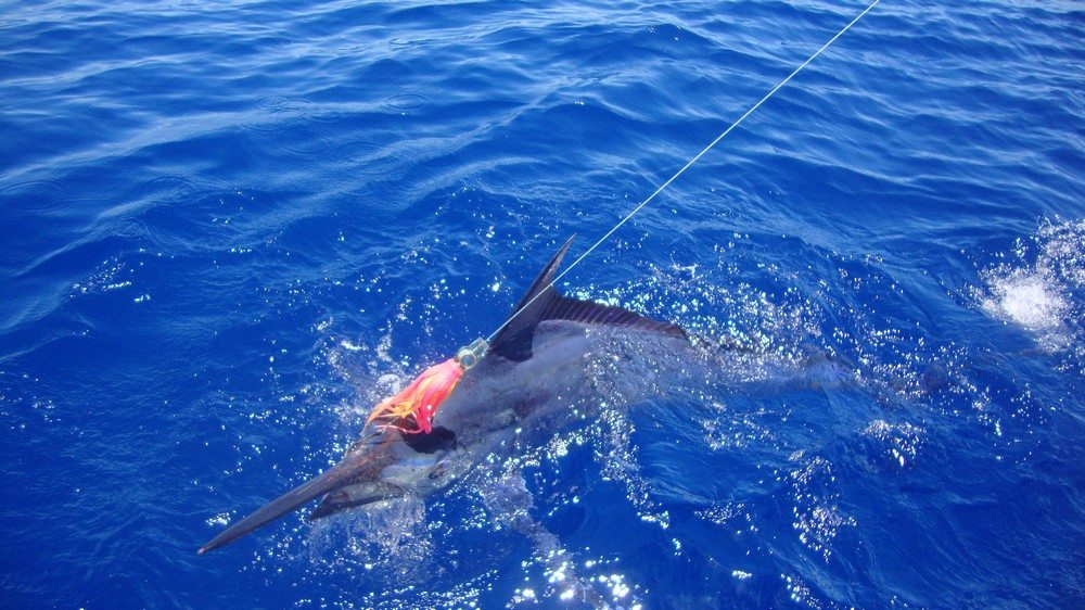 Marlin caught when game fishing in Vanuatu