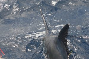 catch marlin while vanuatu deep sea fishing