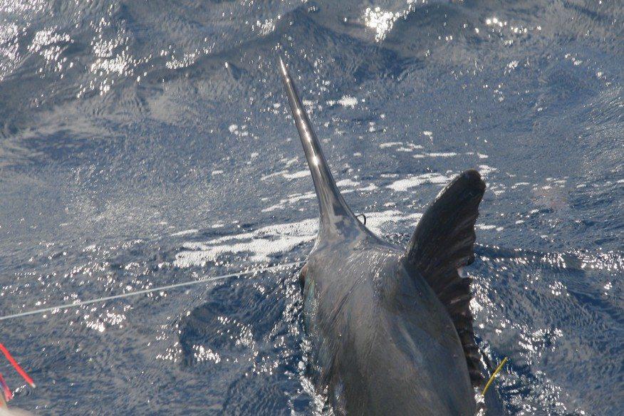 catch marlin while vanuatu deep sea fishing