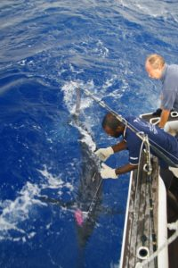 Fishing charters in Vanuatu provide plenty of tagged marlin