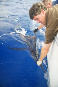 a tagged marlin , we see lots doing fishing charters in Vanuatu